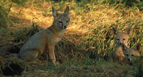 san joaquin kit fox basic facts  san joaquin kit