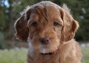 Australian Labradoodle Male or Female? | Labradoodles of ...