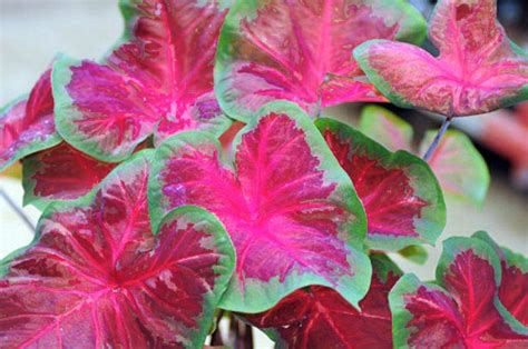caladiums  bates sons  daughters high quality