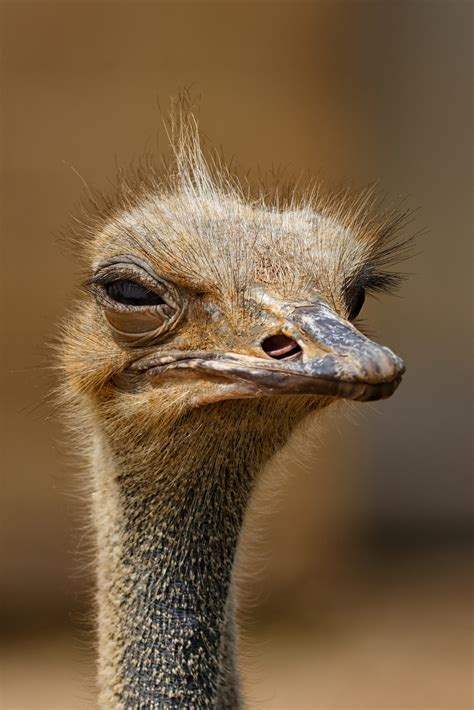 brown ostrich  stock photo