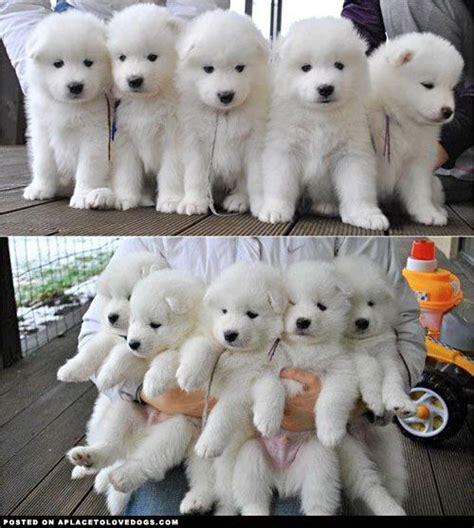 291 Best Samoyeds Images On Pinterest Samoyed Puppies