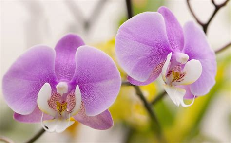 tips on growing phalaenopsis orchids