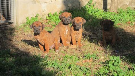 Do Rhodesian Ridgebacks Shed by Rhodesian Ridgeback Immagini Razzecaniorg Breeds Picture