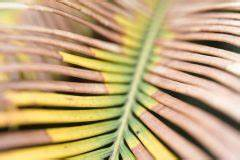 Schmucklilie überwintern Gelbe Blätter : sagopalme pflegen gie en d ngen berwintern und mehr ~ Eleganceandgraceweddings.com Haus und Dekorationen