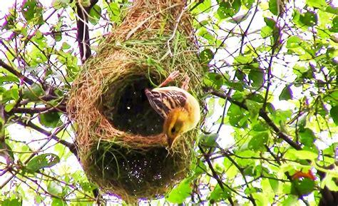 weaver nest weaver bird nest www pixshark com images galleries with a bite