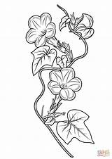 Ivy Coloring Morning Glory Drawing Pages Leaf Printable Glories Flower Drawings Template Tattoo Line Sketch Templates Supercoloring Designlooter 1500px 92kb sketch template