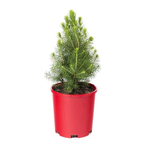 140mm christmas star picea glauca bunnings warehouse