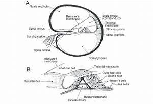 Cross Section Of The Cochlea  A  And The Structure Of The