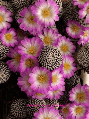 google cicek cactus suculentas flor de cactus