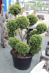 bonsai eibe taxus baccata japan fur japangarten With französischer balkon mit garten bonsai winterhart