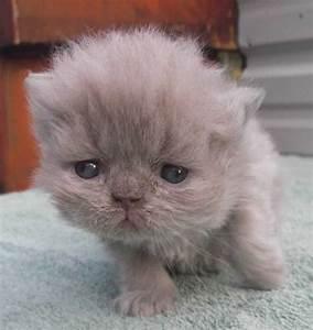 Lilac Persian Cat - Bing images