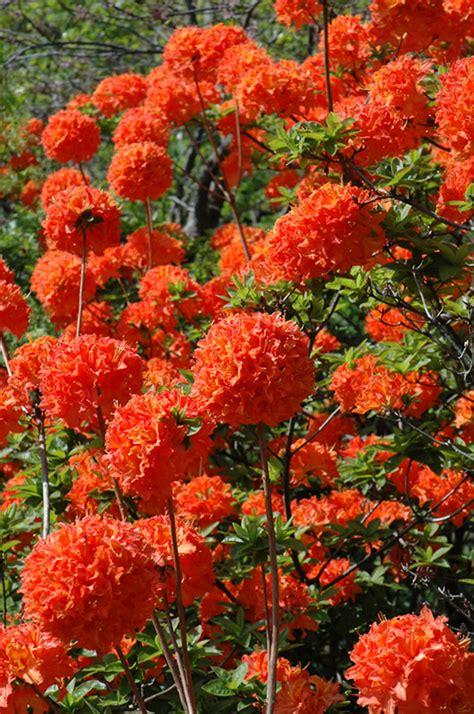 Mandarin Lights Azalea Has Deep Orange Flowers That Are