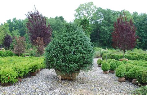 evergreen shrubs evergreen shrubs planters choice
