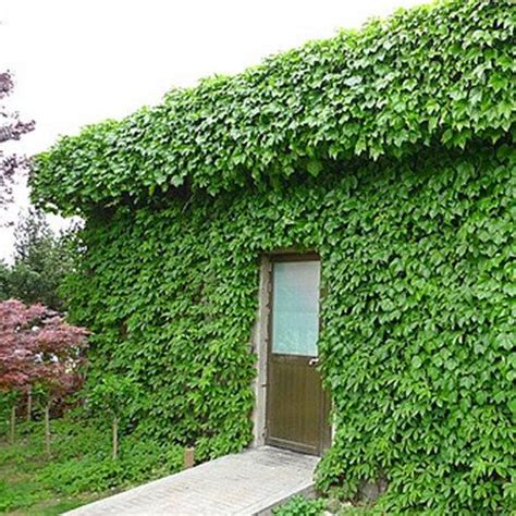 growing climbers for fences boston ivy fast growing for garden and privacy fence flower pots planters boston ivy seeds