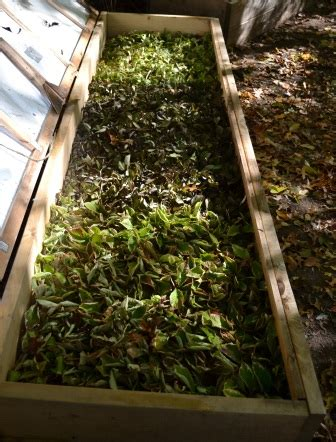 propagating potentilla  cuttings