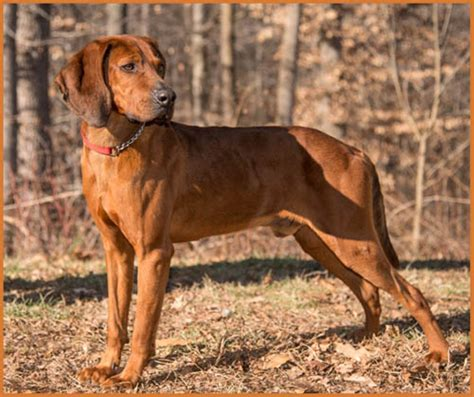 do redbone coonhounds shed strong redbone coonhound puppies breeds puppies