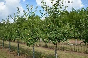 Apfelbaum Hochstamm Kaufen : apfelbaum jonagold als gro en baum ~ Orissabook.com Haus und Dekorationen