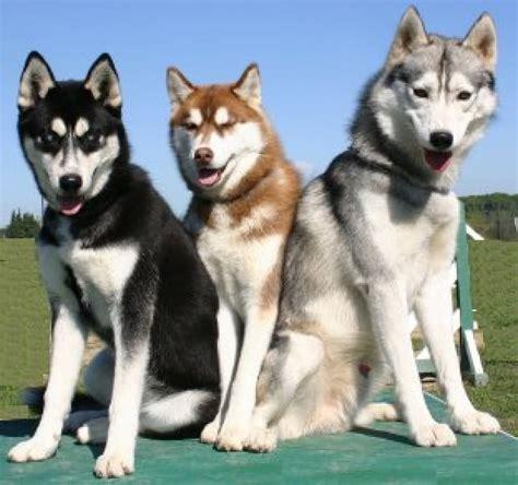 beautiful siberian husky dog   pictures