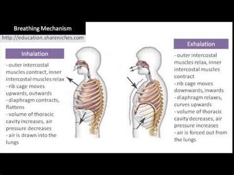 diagram breathing mechanism inhalation exhalation