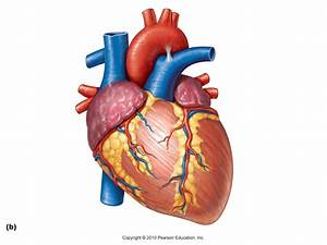 Real Labeled Heart Anatomy