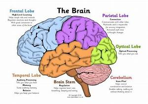 Label The Brain Worksheets  Sb11585