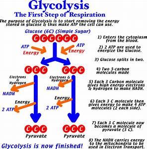 32 Glycolysis Diagram Simple