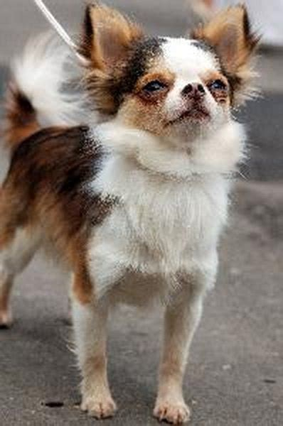 types  chihuahua mixes pets