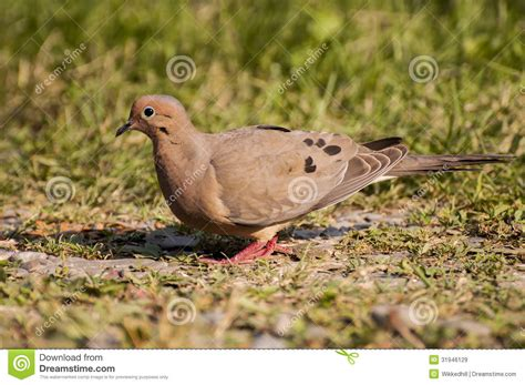 mourning dove stock image image  feeder game bird