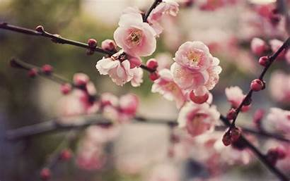 Cherry Blossom Wallpapers 1080p Computer