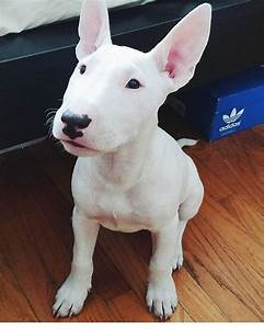 Bull Terrier Dogs - Facts, Personality & Latest News About ...