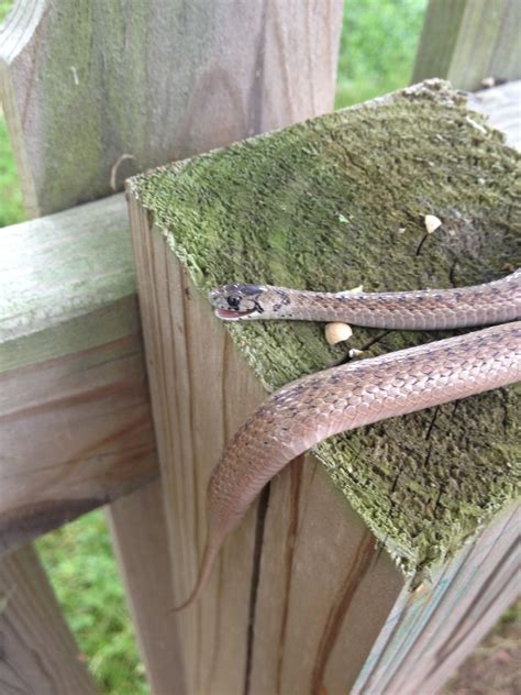 File:Brown Snake in Clarksville Tennessee 2013.jpg ...