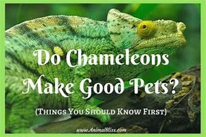Do Chameleons Make Good Pets  What You Need To Know