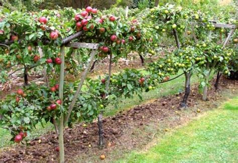 How To Plant Fruit Trees Tips To Pick The Right Tree And
