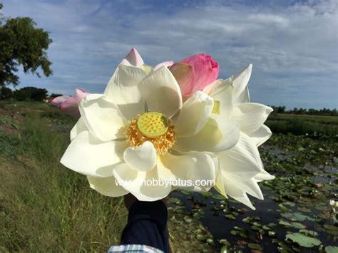 บัวหลวงขาว ดอกใหญ่ - Hobby Lotus