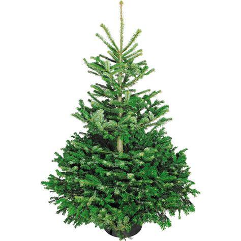 weihnachtsbaum echte nordmanntanne   cm hoch