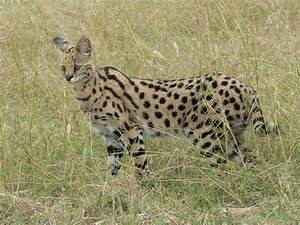 Serval - Wikiwand