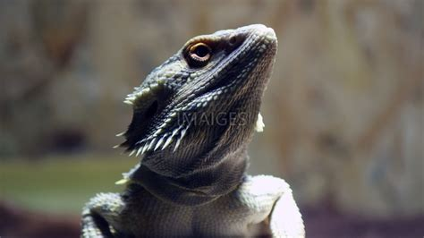 Download bearded dragon wallpaper for your desktop completely free. Bearded Dragon Wallpaper ·① WallpaperTag