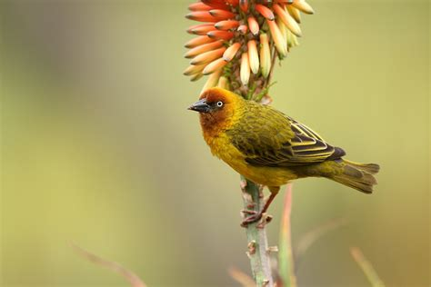 south weaver bird cape weaver bird wildlife photography by richard and eileen flack