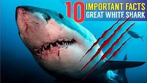 Great White Shark Reveals 10 Important Facts Vendora