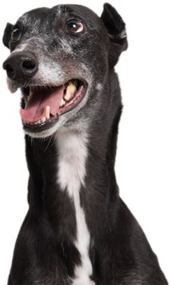 home greyhound adoption center