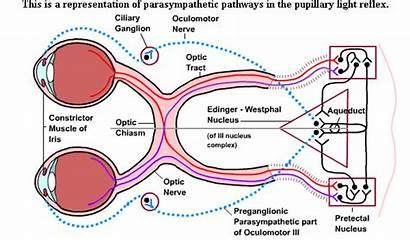 Reflex Eye Pupillary Parasympathetic Pathways Function