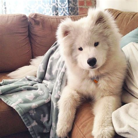 Best 25 Samoyed Puppies Ideas On Pinterest Samoyed Dogs
