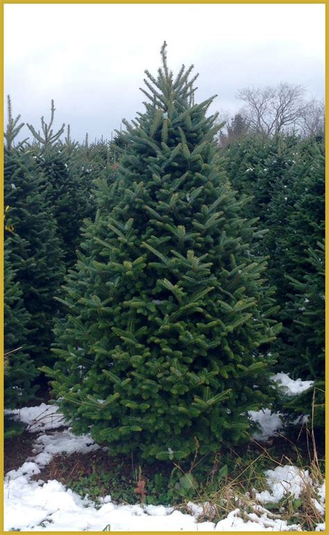 christmas trees sold direct   grower  producer