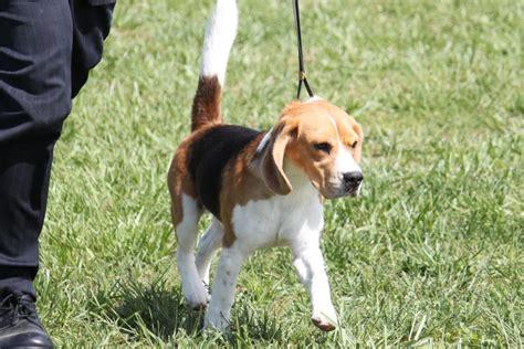 beagle breed information beagle images beagle dog breed info