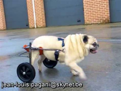 sirius de compi 232 gne avec sa chaise roulante pour chien