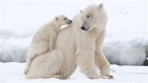 saving  arctic polar bears environment cocacola gb