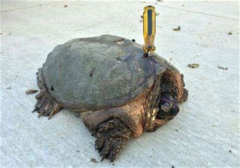 snapping turtle shell www pixshark com images