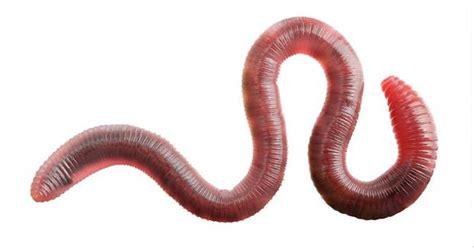 Cacing Dan Cacing Darah manfaat cacing untuk murai batu burung hobi