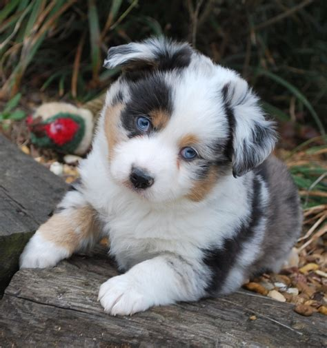 mini aussie non shedding 1000 ideas about australian shepherd shedding on