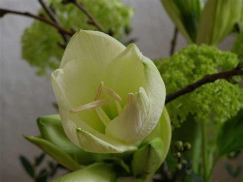 amaryllis blüht nicht amaryllis pflege gie 223 en und d 252 ngen in der bl 252 tezeit plantura